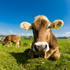 Happy swiss cow on green grass