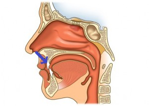 illustration - querschnitt durch mund- und nasenhöhle