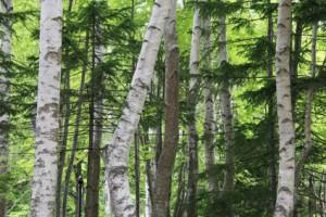 阿寒湖の原生林